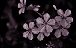Black White Flower Mac wallpaper