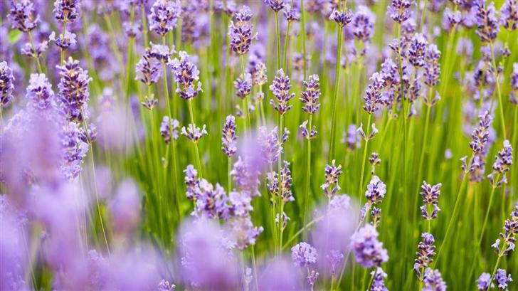 Lavender Flowers Mac Wallpaper