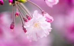 Spring In Japan Mac wallpaper