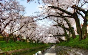 Under Sakura Trees Mac wallpaper