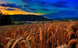 Wheat Field At Twilight Mac wallpaper