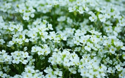 Mothers Day White Flowers Mac wallpaper