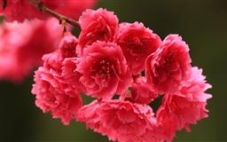 Red Spring Flowers Mac wallpaper