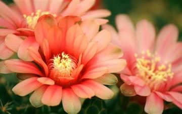 Cactus Flowers Mac wallpaper