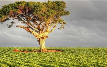 Field Tree Mac wallpaper