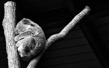 Koala Taking A Nap Mac wallpaper
