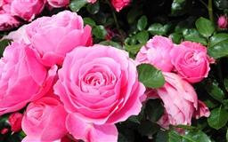 Roses Are Pink Mac wallpaper