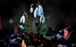 The Snowdrop Mac wallpaper