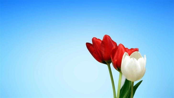 The Tulips Mac Wallpaper