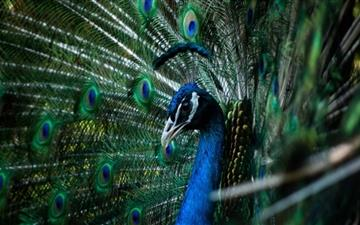 The Peacock Mac wallpaper