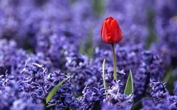 Red tulip and hyacinths Mac wallpaper