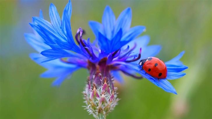 Ladybug On A Ble Cornflower Plant Mac Wallpaper