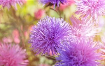 Purple Fluffy Flowers Mac wallpaper