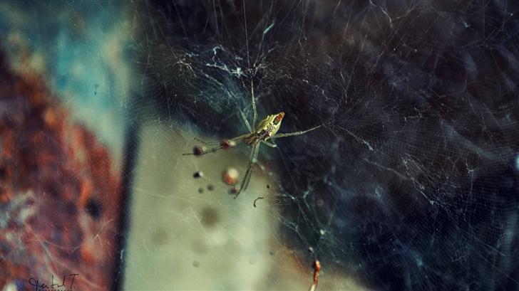 Spider Wed Mac Wallpaper