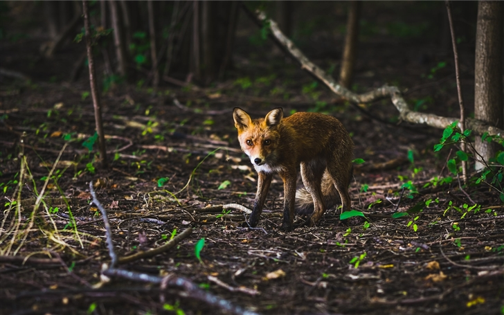 Fox in a spring forest Mac Wallpaper