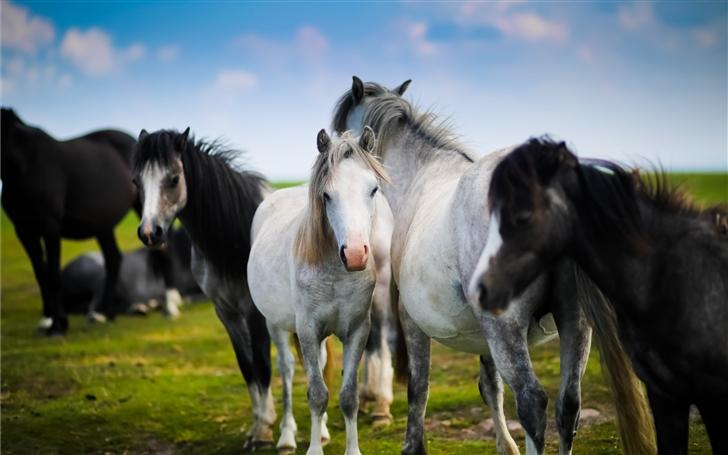 Horse herd in Wales Mac Wallpaper
