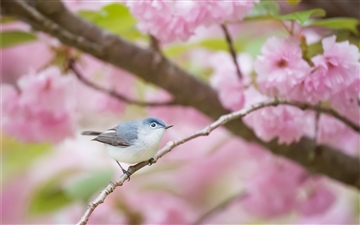 Spring Gnatcatcher Mac wallpaper