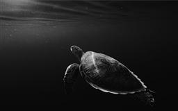 monochrome lone turtle in sea