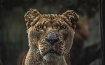 Macro view of lioness Mac wallpaper