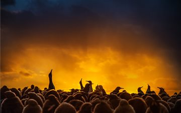King penguins silhouetted... Mac wallpaper