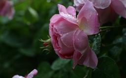 Roses Mac wallpaper