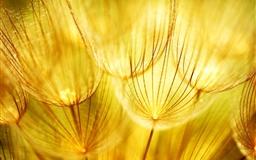 Golden fluff Mac wallpaper