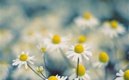 Chamomile flowers Mac wallpaper