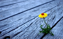 Flower between wooden boards Mac wallpaper