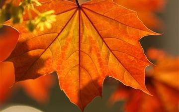 Oak Rust Colored Leaves Mac wallpaper