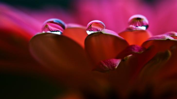 Dew On Petals Macro Mac Wallpaper