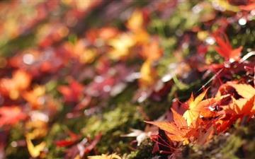 Fallen Maple Leaves Mac wallpaper