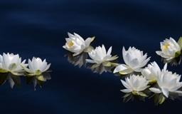 Silent drifters Lotus