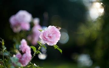 Pink rose bokeh Mac wallpaper