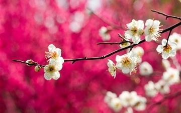Spring White Blooms Mac wallpaper