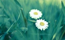 Two daisies Mac wallpaper
