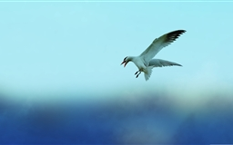 Seagull 5 Mac wallpaper