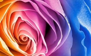 Rainbow rose Mac wallpaper