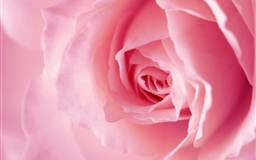 Light pink rose macro Mac wallpaper