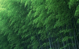 Bamboo forest Mac wallpaper