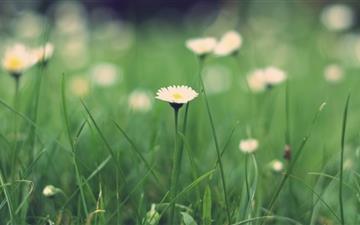 Small daisies Mac wallpaper