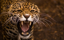 Very angry tiger
