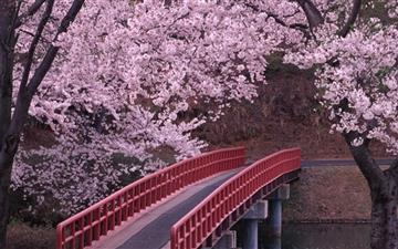 Sakura and bridge Mac wallpaper