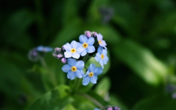 Forget Me Not Flower Mac wallpaper