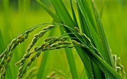 Rice cropping Mac wallpaper