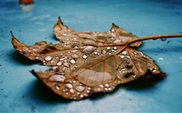 Wet Maple Leaf Close-up