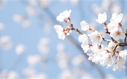 Cherry Blossom And Blue Sky Mac wallpaper