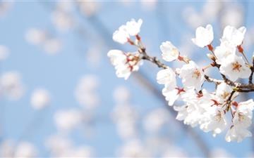 Cherry Blossom And Blue Sky Mac wallpaper