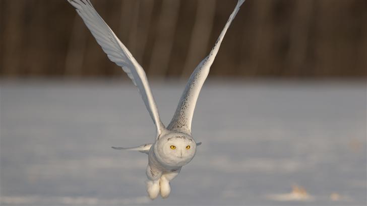 The white owl Mac Wallpaper