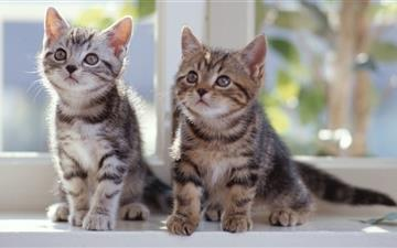 Tabby Kittens Mac wallpaper