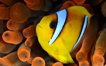 Yellow And White Fish Mac wallpaper